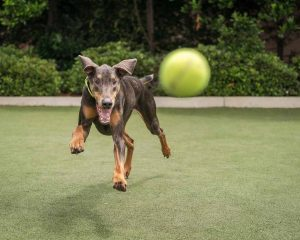 A dog playing with a ball at doggy day care