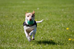 A dog playing at a dog boarding facility