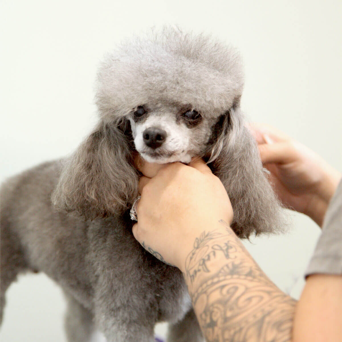 gray toy poodle at pet salon getting hair trimmed