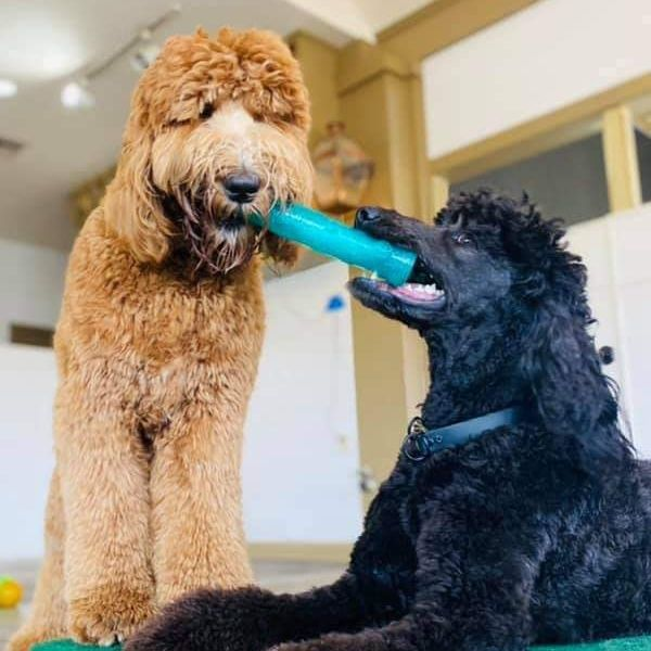 Brown and black dog have blue chew toy in mouth at dog day care in baton rouge